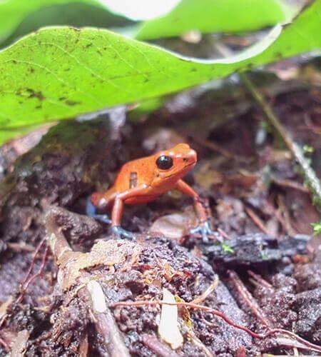 exotic frog nicaragua