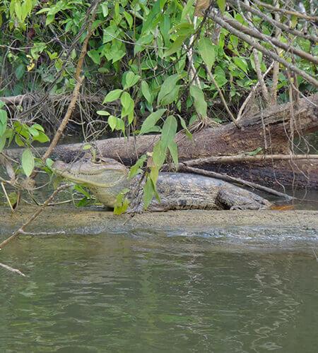 cocodrile caiman nicaragua