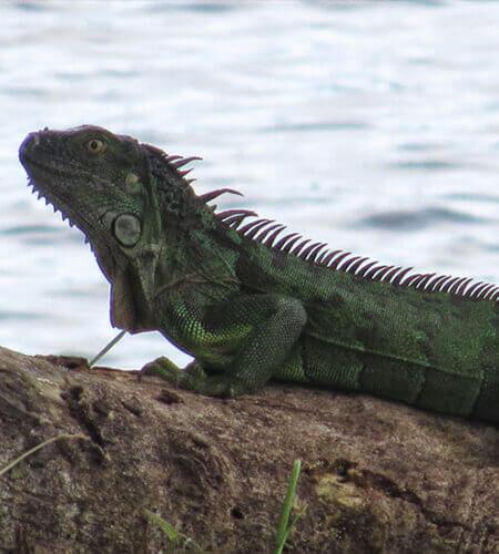 iguana nicaragua